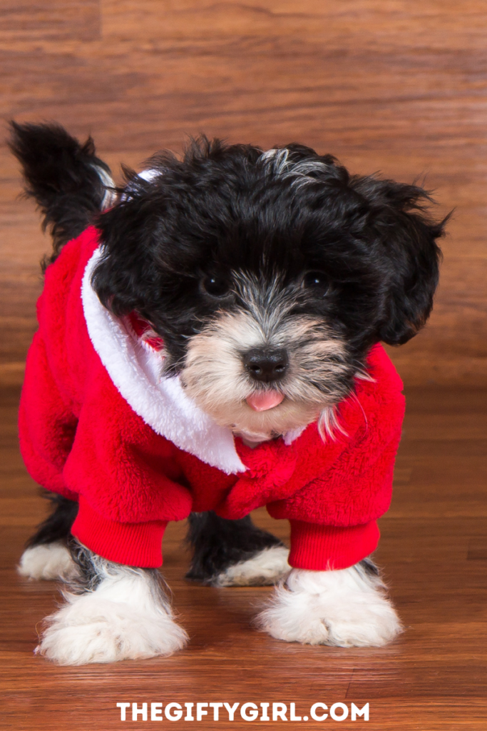 Adorable black puppy with a white nose wearing a red Santa suit with his tiny pink tongue out. Dog Stocking Stuffer Ideas